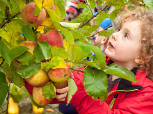 Hobby farmer picking apples