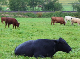 Farm History – Beef Production Part Two
